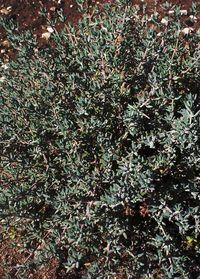 Thym de Provence de l'exploitation Bleu d'Argens dans le Haut Verdon